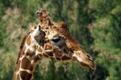 Profilo della giraffa Ritratto Primo piano immagine stock