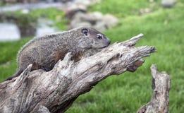 Profilo della marmotta nordamericana Fotografia Stock