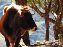 Profilo della mucca di Brown che guarda alla destra immagine stock
