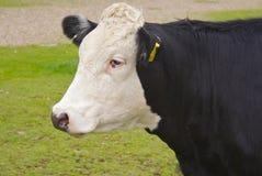 Profilo della mucca di Fresian Immagine Stock