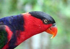 Profilo della testa del pappagallo Fotografie Stock Libere da Diritti