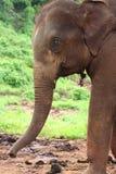 Profilo della testa dell'elefante Fotografia Stock