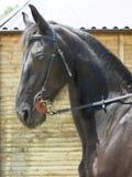 Profilo della testa di cavalli Fotografia Stock