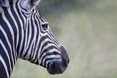 Profilo della zebra Fotografia Stock