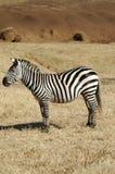 Profilo della zebra Fotografia Stock Libera da Diritti