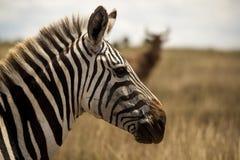Profilo della zebra Fotografie Stock