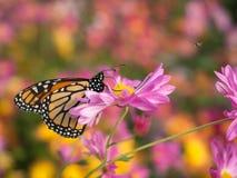 Profilo di bella farfalla su un fiore rosa del crisantemo fotografia stock