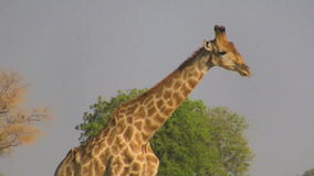 Profilo di camminata della giraffa video d archivio
