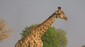 Profilo di camminata della giraffa stock footage
