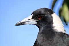 Profilo di colpo in testa del primo piano della gazza australiana Fotografia Stock