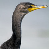 Profilo di Cormorant Fotografia Stock