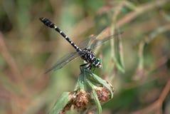 Profilo di forcipatus di Onychogomphus della libellula Fotografia Stock