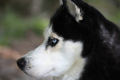 Profilo di giovane husky immagine stock libera da diritti
