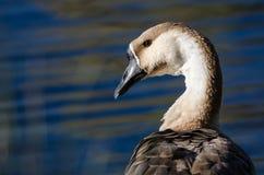Profilo di giovane oca cinese sulle acque di uno stagno pacifico Fotografie Stock