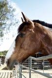 Profilo di grande cavallo di baia con la fiammata bianca Fotografia Stock Libera da Diritti