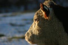 Profilo di Hereford Immagini Stock