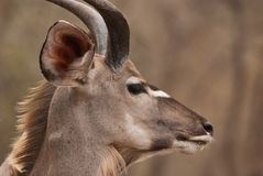Profilo di Kudu Immagine Stock