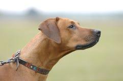 Profilo di Rhodesian Ridgeback Fotografia Stock