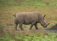 Profilo di rinoceronte Fotografie Stock