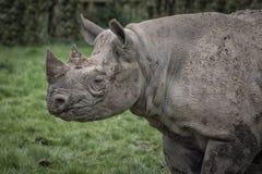 Profilo di rinoceronte Immagine Stock