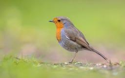 Profilo di Robin su fondo verde intenso fotografia stock libera da diritti