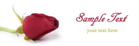 Profilo di rosa di colore rosso isolato su bianco Immagini Stock Libere da Diritti