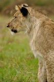 Profilo di sinistra del cub di leone Immagini Stock Libere da Diritti
