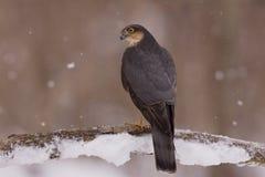 Profilo di Sparrowhawk Fotografia Stock