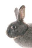 Profilo di un coniglio grigio Fotografie Stock