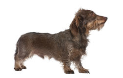 Profilo di un dachshund Wire-haired del Brown Fotografia Stock
