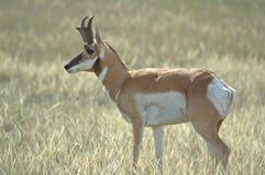 Profilo di un dollaro dell'antilope di Pronghorn immagine stock libera da diritti