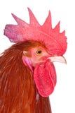 Profilo di un gallo Fotografia Stock