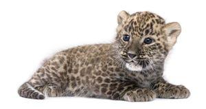 Profilo di un leopardo persiano Cub che si trova giù (pipì 6 Fotografia Stock
