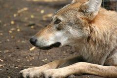 Profilo di un lupo Fotografia Stock Libera da Diritti
