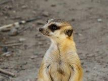 Profilo di un Meerkat fotografie stock libere da diritti