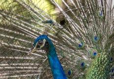 Profilo di un pavone fotografia stock libera da diritti