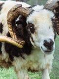 Profilo di un Ram in bianco e nero fotografia stock