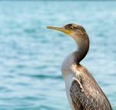 Profilo di un uccello del cormorano fotografie stock libere da diritti