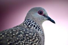 Profilo di una colomba macchiata Fotografia Stock