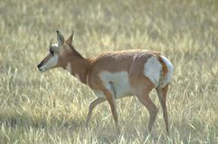 Profilo di una daina dell'antilope di Pronghorn immagine stock