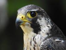 Profilo di una foto grigia del falco di un'anima immagine stock libera da diritti