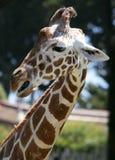 Profilo di una giraffa Fotografia Stock Libera da Diritti