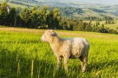Profilo di una pecora Fotografia Stock