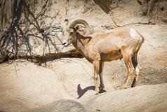 Profilo di una pecora Bighorn del deserto Fotografia Stock Libera da Diritti