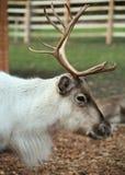 Profilo di una renna relaxed Fotografie Stock Libere da Diritti