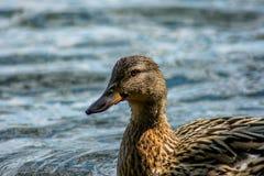 Profilo femminile di nuoto del primo piano dell'anatra Fotografia Stock Libera da Diritti