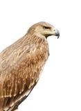 Profilo fiero di un'aquila isolata sopra bianco Fotografia Stock