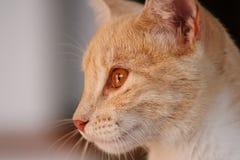 Profilo giallo del gatto Immagine Stock