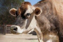 Profilo grazioso della mucca alla luce solare del cortile con fieno attaccato sul suo naso fotografia stock
