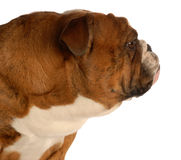 Profilo inglese della testa del bulldog Immagini Stock